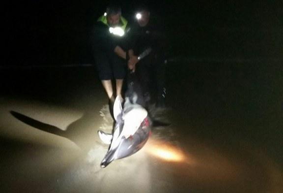 La Policía Local de Ayamonte salva a un delfín varado en Isla Canela